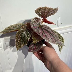 Pink Minx Angel Wing Begonia Live Plant 4in